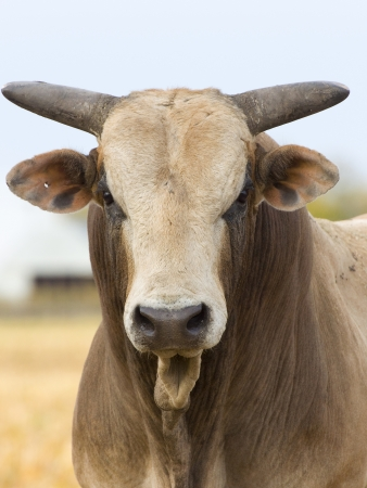 Large Mean Bull looking at you
