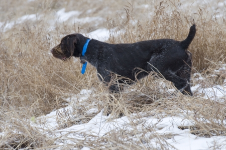 wirehair: Hunting Dog on Point in the snow of a Pheasant