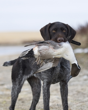 wirehair: Duck Hunting
