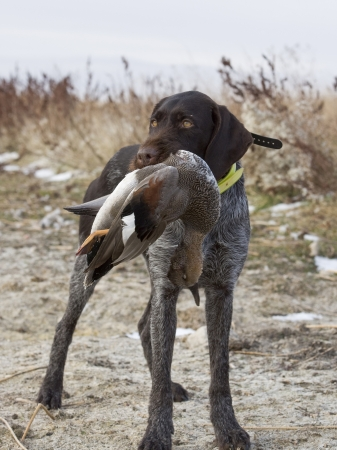 retrieve: Hunting Dog with a Drake Gadwall