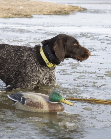 retrieve: Duck hunting dog about to retrieve a duck