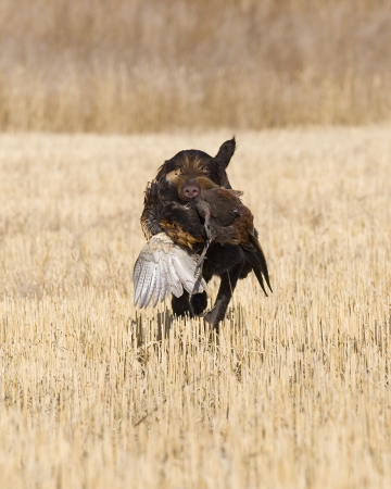 wirehair: Dog Fetching a Rooster Pheasant