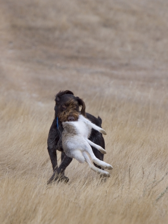 wirehair: Dog Retrieving a Rabbit Stock Photo