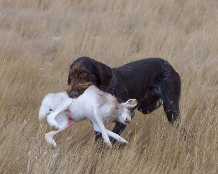 jack rabbit: Hunting Dog with a Jack Rabbit