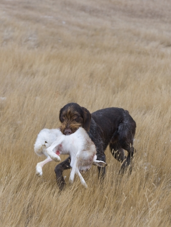 jack rabbit: Hunting Dog with a Rabbit Stock Photo
