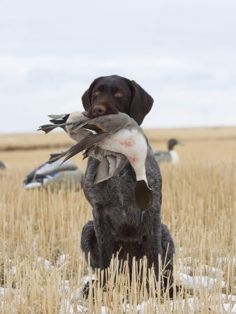 wirehair: Drake Pintail shot duck hunting