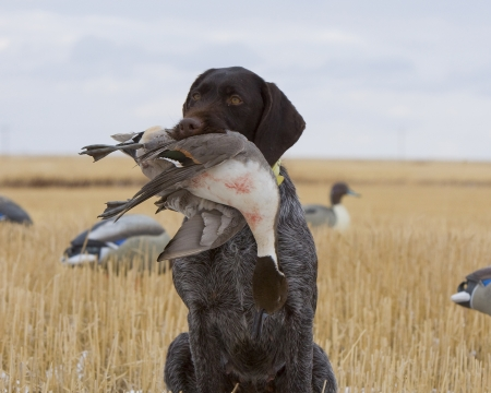 fetch: Drahthaar Hunting Dog with a Drake Pintial Stock Photo