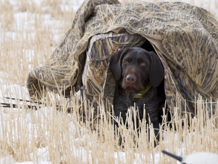 Hunting Dog in a Blind
