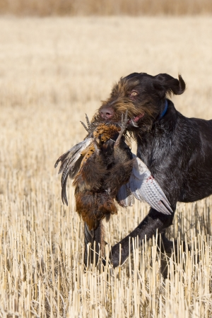 Hunting Dog Retrieving a Rooster Pheasant photo