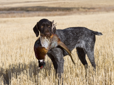 Dog with a Pheasant Stock Photo - 16356202