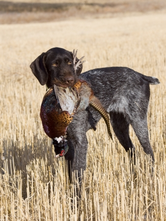 wirehair: Bird Dog with a Pheasant Stock Photo