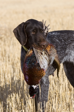 Bird Dog with a Rooster Pheasant Stock Photo - 16356179