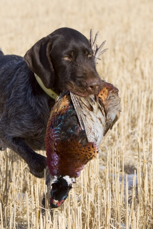 wirehair: Hunting Dog with a Rooster Pheasant
