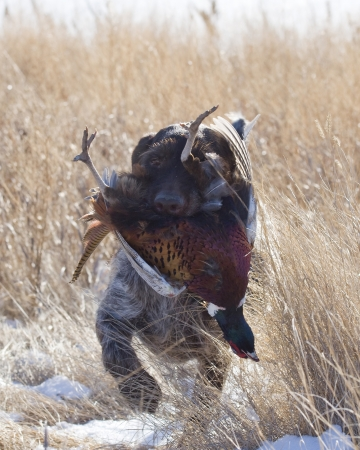 Hunting dog with a Rooster Pheasant Stock Photo
