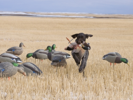 retrieving: Hunting Dog with a Drake Mallard