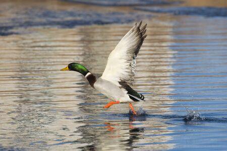 pato real: Drake Mallard que despegaba de un estanque helado