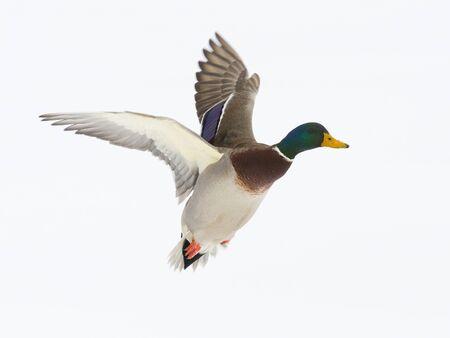mallard: Drake Mallard en vuelo con el fondo de la nieve