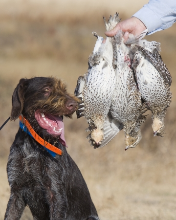 gamebird: Hunting dog and Grouse Stock Photo