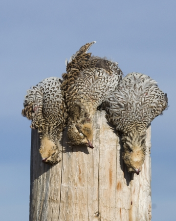 CODORNIZ: Grouse Sharptailed