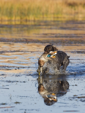 wirehair: Hunting Dog with a Drake Mallard