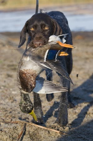wirehair: Hunting dog and a Mallard
