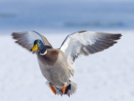 pato real: Drake Mallard in Flight Foto de archivo