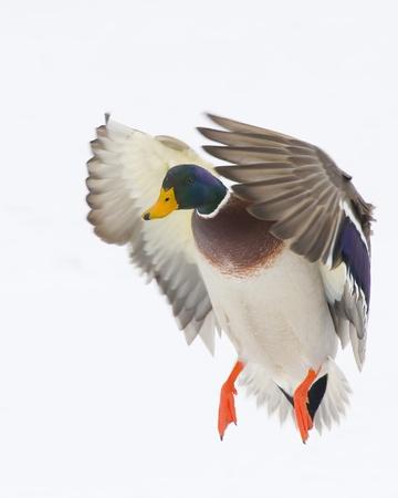 フライトのマガモ ・ ドレーク 写真素材