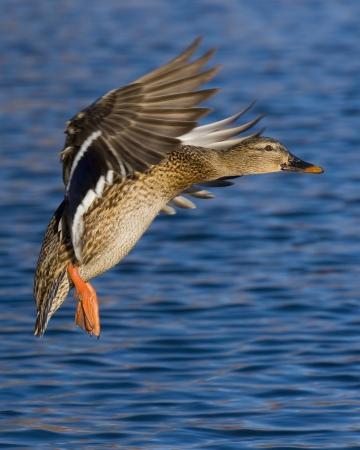 Landing Hen Mallard Stock Photo