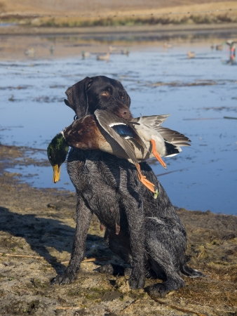 Drahthaar Hunting Dog and a duck