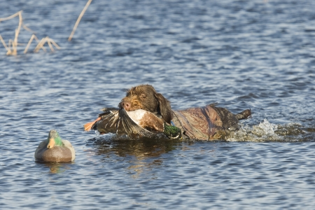 wirehair: Dog retrieving a duck Stock Photo