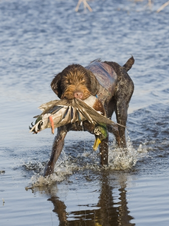Hunting Dog with a Duck photo