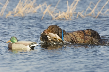 decoy: Dog Retrieving a Gadwall duck Stock Photo