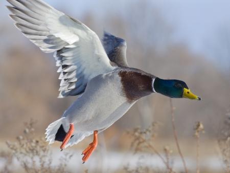 mallard duck: Landing Duck