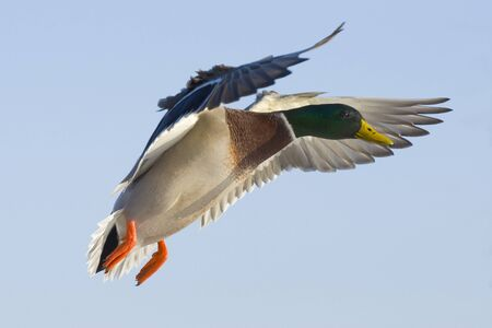Mallard Duck Stock Photo - 17211412