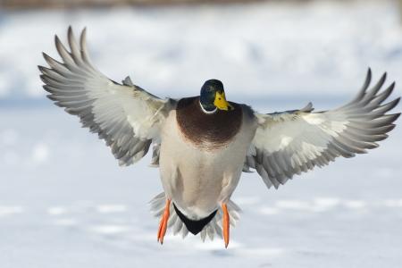 Landing Mallard Stock Photo