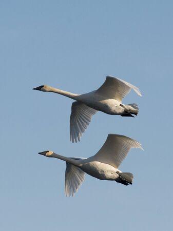 trumpeter swan: Pair of Flying Swans Stock Photo
