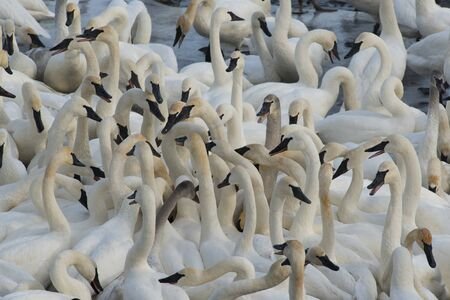swans: Trumpeter Swans Stock Photo