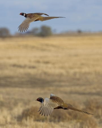 kuropatwa: Bażanty Rooster