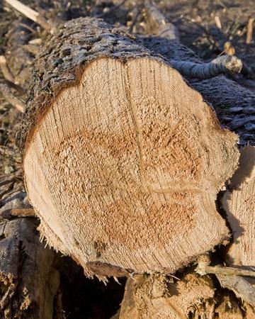 minnesota woods: Freshly cut pine log Stock Photo