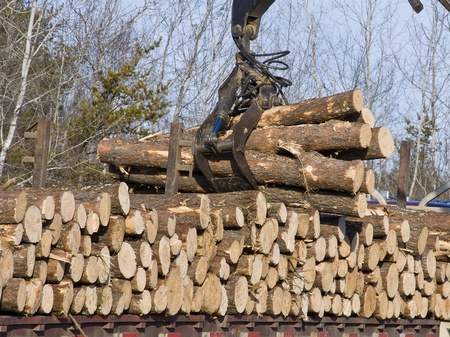 logger: Stacking Pine logs onto a logging truck