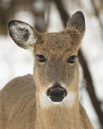 venado cola blanca: Whitetail Deer Doe