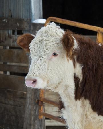 hereford: Hereford Steer