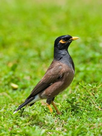 Myna Bird in Hawaii
