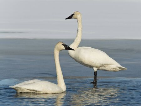 Pair of Trumpeter Swans photo