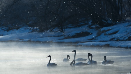 trumpeter swan: Frosty Morning Swans Stock Photo