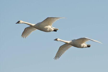 trumpeter swan: Pair of Swans in flight