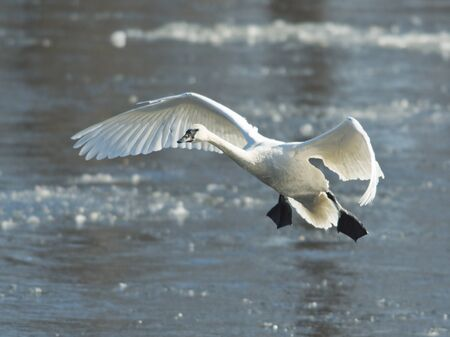 Landing Swan Reklamní fotografie