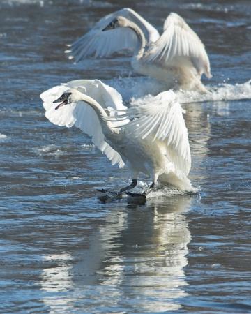 trumpeter swan: Landing Swans