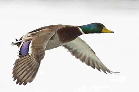 mallard: Flying Duck