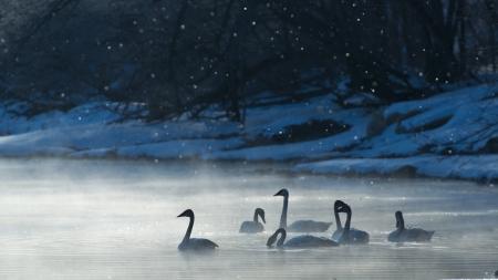 Swans on a frosty morning Reklamní fotografie